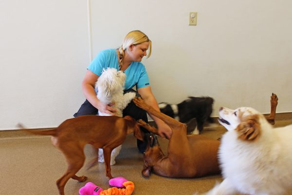 A team member playing with dogs in the doggie daycare. Pictured are 6 dogs of various breeds and sizes
