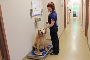 A golden retriever being weighed. He is very happy because he has lost weight.