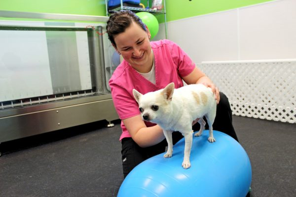 Team member Anna assisting a tiny white dog to stand on an exercise ball used for physical therapy