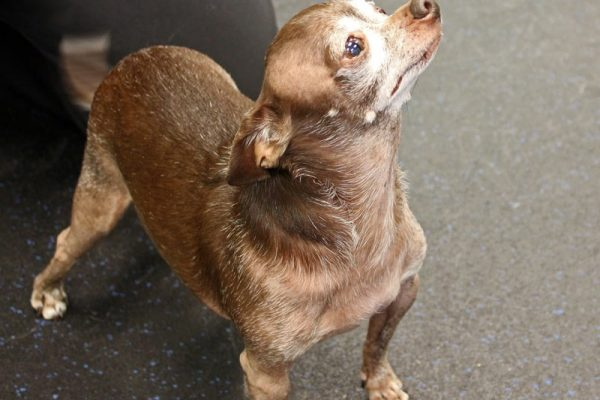 A small brown dog with a white face putting his nose up in the air