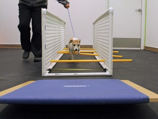 A small white and tan dog being assisted by a vet to go through the physical therapy obstacle course