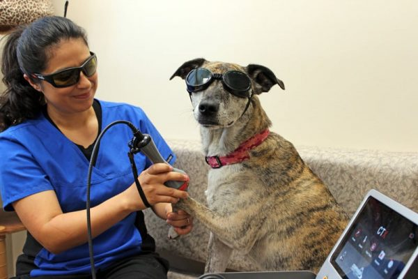 A Veterinarian performing laser therapy on a large grey and tan brindle dog. Both the dog and the vet are wearing proper eye protection