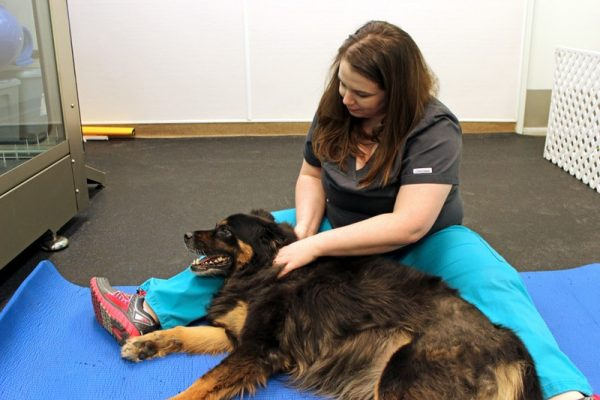 Team member Shannon giving a large black and tan dog a massage