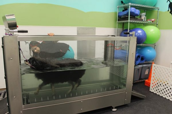 A large black dog with tan feet treading water in a physical therapy tank while a vet tech keeps them company