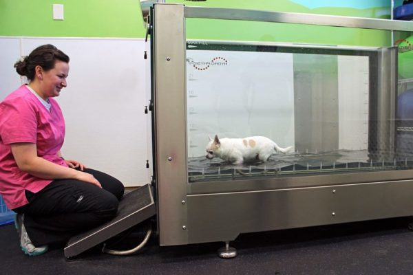 A tiny white dog with beige spots treading water in a physical therapy machine white a vet tech keeps him company
