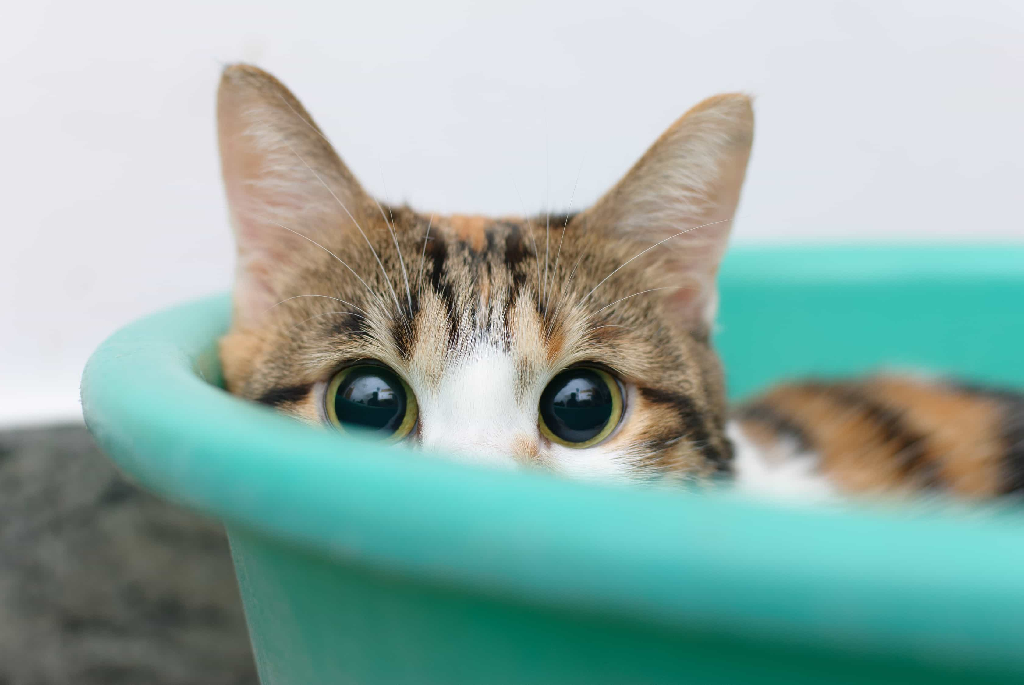 A brown, white and orange cat with green eyes laying in a blue plastic bucket