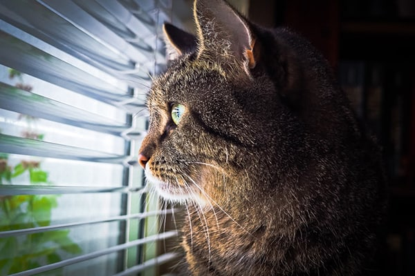 A close up of a brown and tan cat looking through window blinds